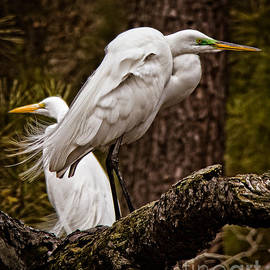 Tom Gari Gallery-Three-Photography - Egrets On A Branch