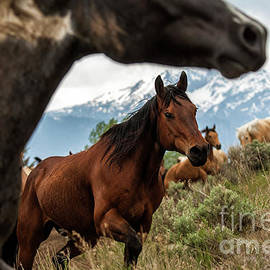 Wildlife Fine Art - Electric Peak Horses