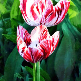 Susan Savad - Elegant Pink and White Striped Tulips