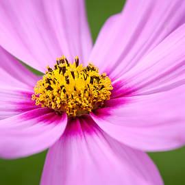Laura Duhaime - Elegant Pink Cosmos Flower
