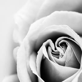 Vishwanath Bhat - Elegant Rose closeup in black and white
