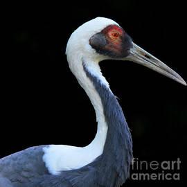 Paul Davenport - elegant Sandhill Crane