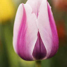 Vishwanath Bhat - Elegant tulip with natural bokeh
