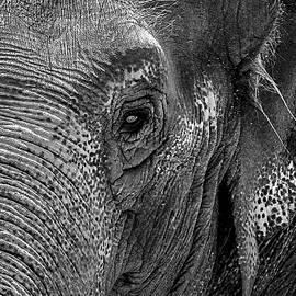 Bob Slitzan - Elephant Portrait Grayscale