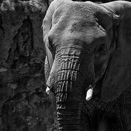 Ruth Jolly - Elephant stare