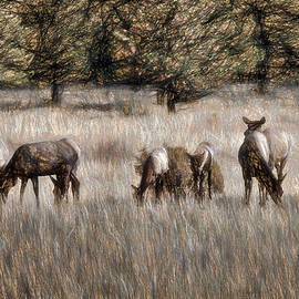 Jim Hill - Elk Grazing