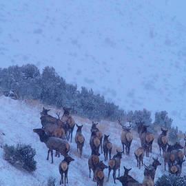 Jeff Swan - Elk herd in  snowfall