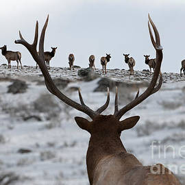 Wildlife Fine Art - Elk Herd