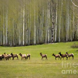 Janice Rae Pariza - Elk Spring Migration