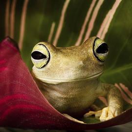 Linda D Lester - Emerald Eyed Tree Frog