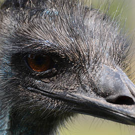 Richard Andrews - Emu - Up Close and Personal