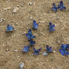 Georgia Mizuleva - Enchanting Butterflies - Dainty Sapphires Scattered on Rough Ground