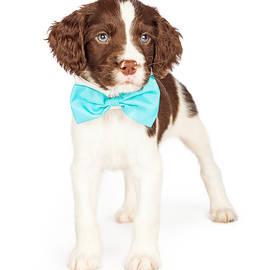 English Springer Spaniel Puppy Wearing Bow Tie - Susan Schmitz
