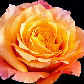 Daphne Sampson - Enticing Beauty The Orange  Rose