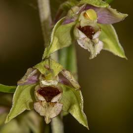 Bruce Frye - Epipactis helleborine Orchid