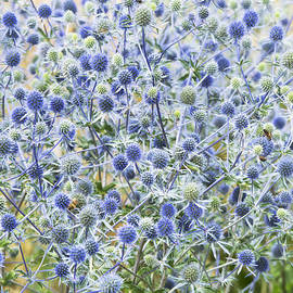 Eryngium Tripartitum Flowers - Tim Gainey