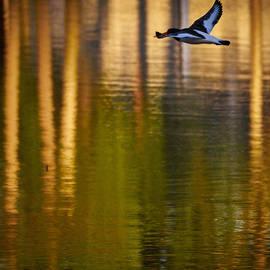 Jouko Lehto - Eurasian oystercatcher morning flight