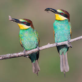 Sergey Ryzhkov - European bee-eaters sitting together on a brach