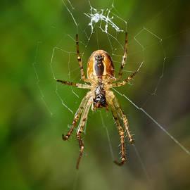 Jouko Lehto - European garden spider