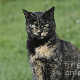 Terri  Waters - Evie the Tortoiseshell Cat