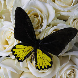 Exotic Black And Yellow Butterfly - Garry Gay