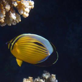 Johanna Hurmerinta - Exquisite Butterflyfish 2015