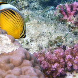 Exquisite Butterflyfish and corals