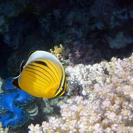 Exquisite Butterflyfish and Giant Red Sea Clam