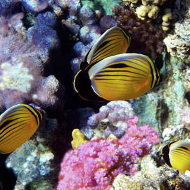 Exquisite Butterflyfish Family