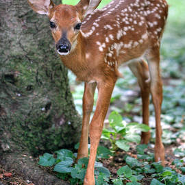 Gene Walls - Eye To Eye With A Wide - Eyed Fawn