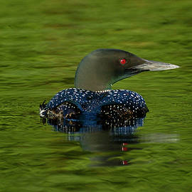 Spencer Bush - Eyes on the Green - Common Loon - gavia immer