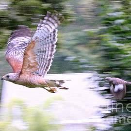 Diann Fisher - Facing The Enemy Blue Jay vs Hawk