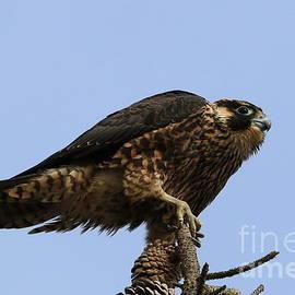 Craig Corwin - Falcon On A Stick