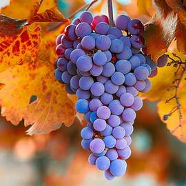 Lynn Hopwood - Fall grapes from the Yakima Valley,