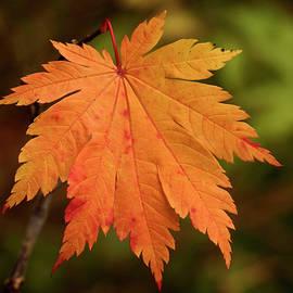 Inge Riis McDonald - Fall Maple Leaf - 365-231