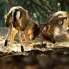 Roeselien Raimond - Fallow Deer Fight