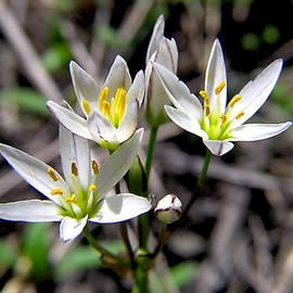 Adam Johnson - False Garlic Wild Flower