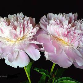 Jeannie Rhode Photography - Fancy Pink Peonies