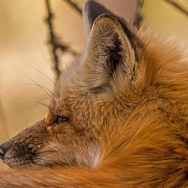 Steve Dunsford - Father Fox