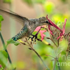 Robert Bales - Feeding Hummingbird