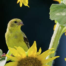 John Ray - Female - American Goldfinch