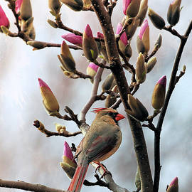 Theresa Campbell - Female Cardinal In Magnolia Tree