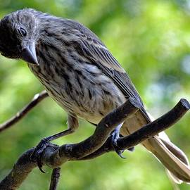 Cindy Treger - Female House Finch