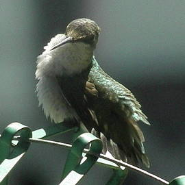 Earl Williams Jr - Female stretch-Female Ruby-thoated Hummingbird