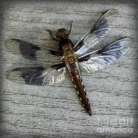 Karen Adams - Female Whitetail Skimmer Dragonfly