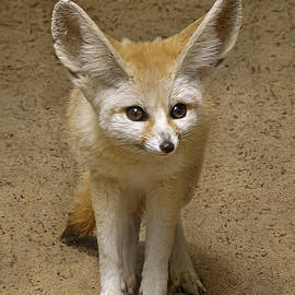 Wes and Dotty Weber - Fennec Fox W9786