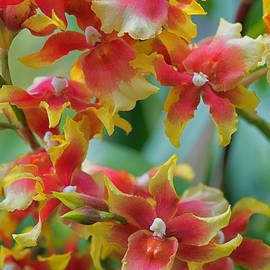 Zina Zinchik - Festive orchids