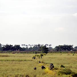 Bliss Of Art - Field Buffaloes
