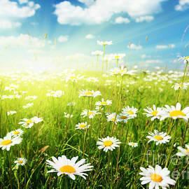 field of daisy flowers -  Iakov Kalinin