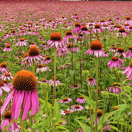 Jean Noren - Field of Echinacea